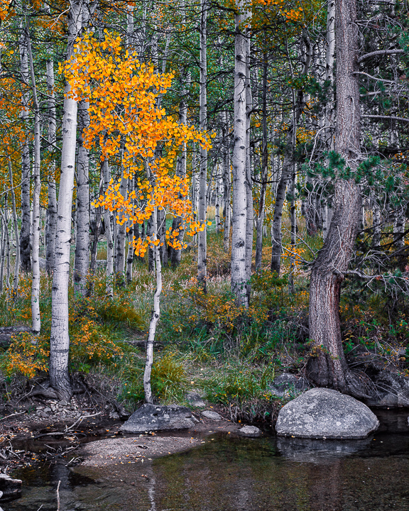 Bishop Creek Aspen; Autumn (•)
