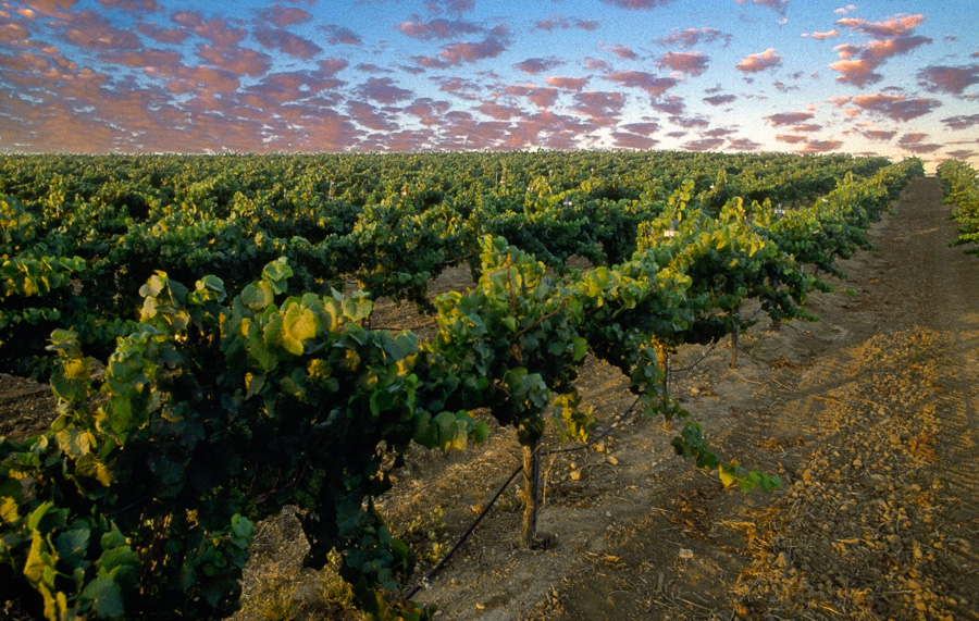 Edna Valley Vineyard Sunset