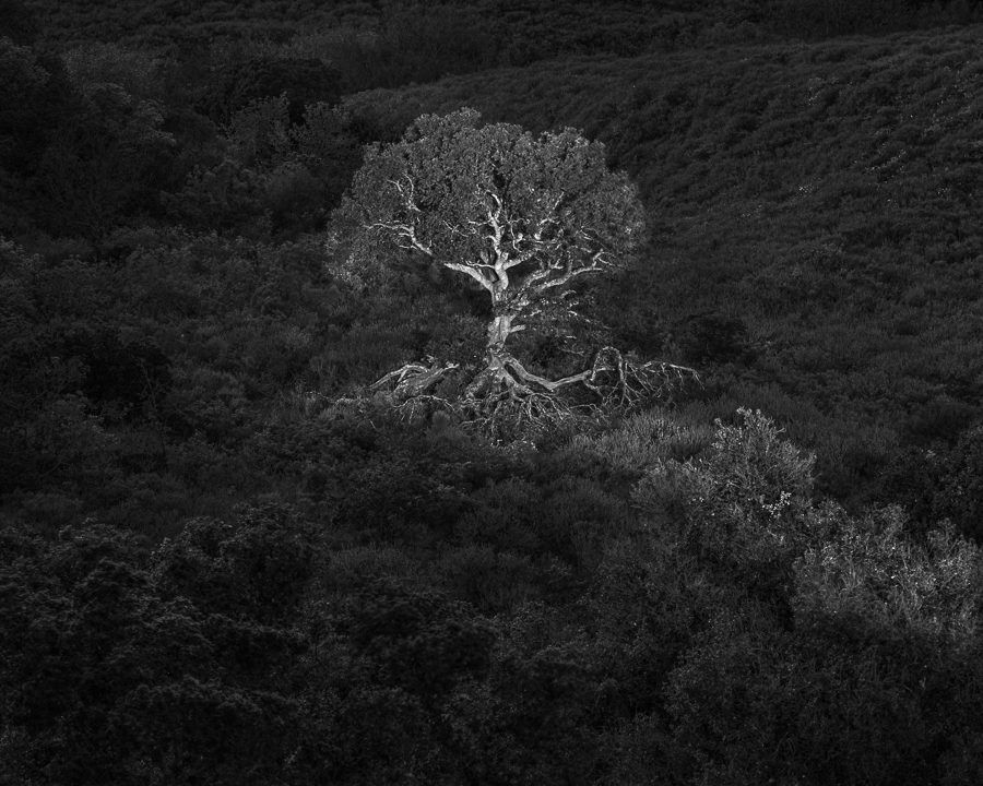 Oak Tree in Light (•)