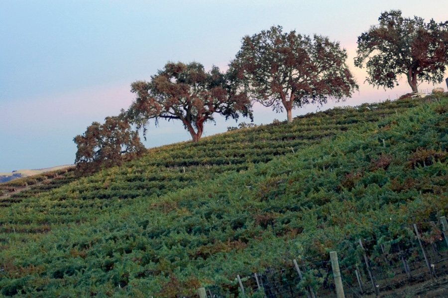 Oaks and Vineyard