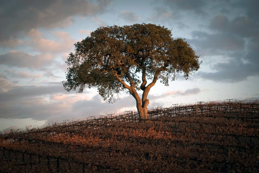 Oak Tree in Vineyard