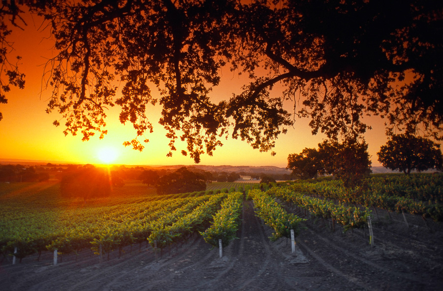 Sunrise Over Vineyards (LE)