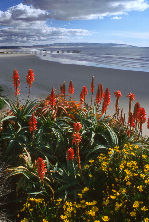 Flowers and Pismo Beach Pier (LE)