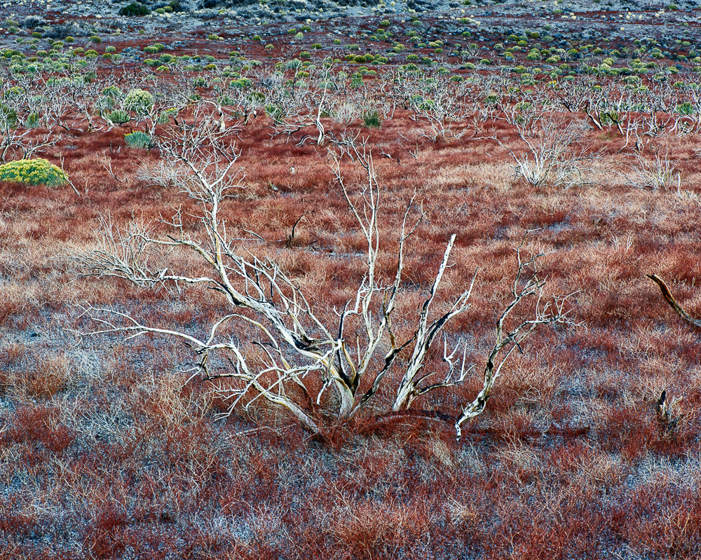 Burned Bush; Owens Valley, California (•)
