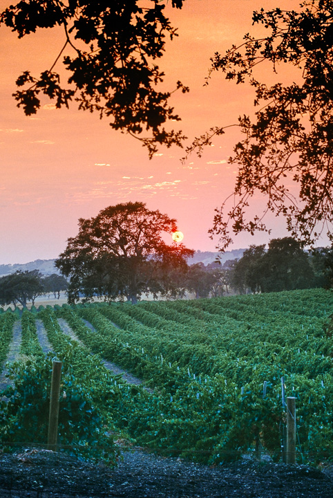 Morning Sun over Vineyard