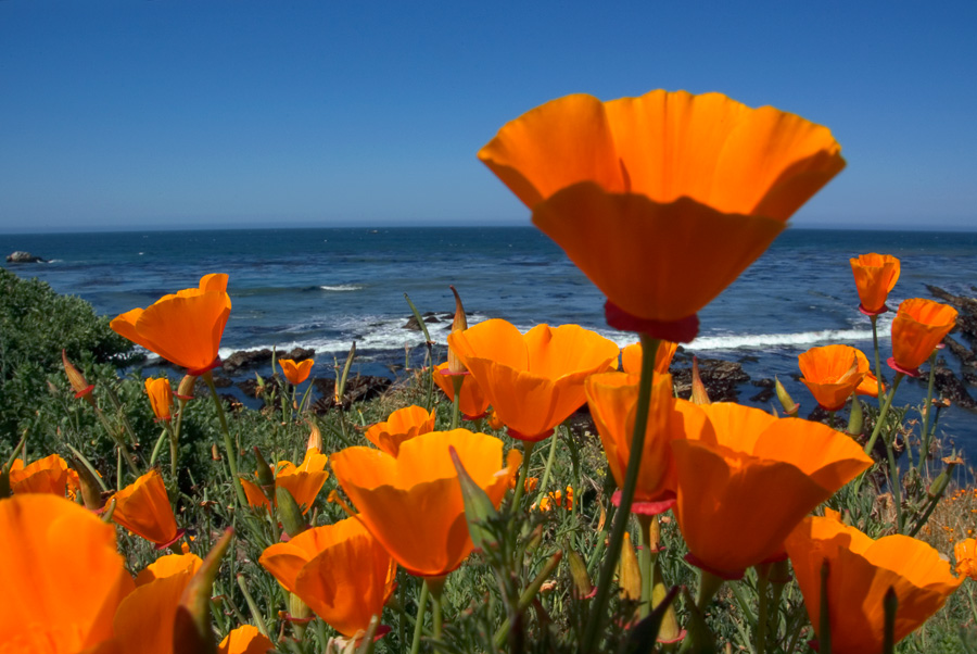 Coastline Poppies