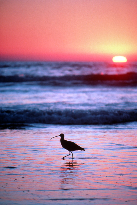 Sandpiper at Sunset