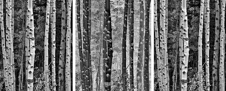 Trees in Exchange (•) A triptych containing one black and white photograph of Aspen trees in autumn. The left and right images are identical while the middle image is identical but inverted.
