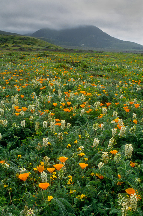 Montana de Oro Fog and Wildflowers