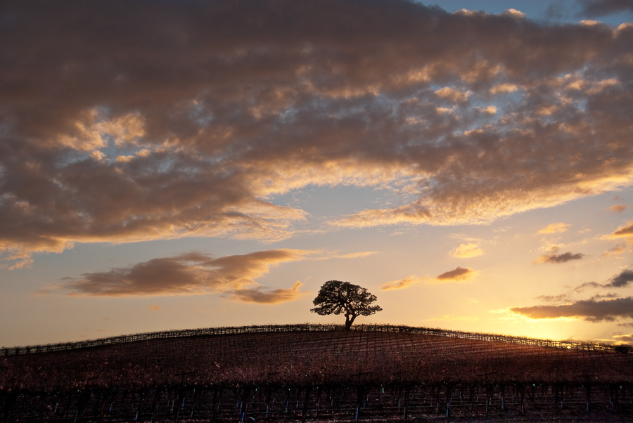 Lone Oak at Sunset in Vineyards (LE)