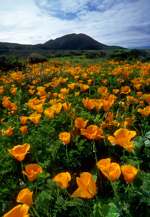 Montana de Oro Poppies